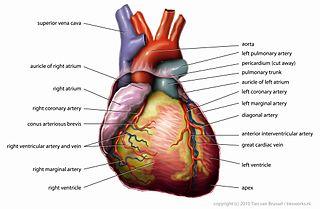Anatomy_of_Heart