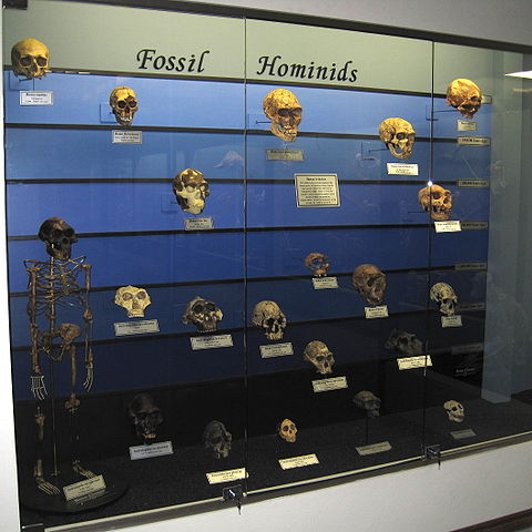 evolution of man described using fossil hominids