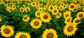 20 Facts about Sunflowers