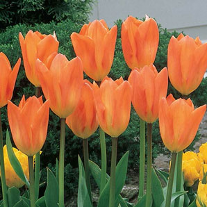 facts about tulips