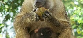 baboon meaning