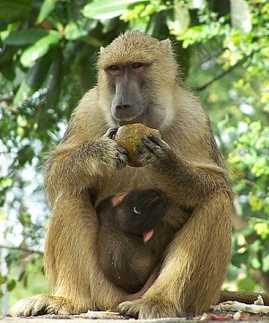 Baboon meaning - Spinfold